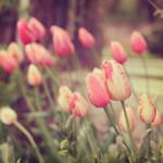 Tulip_image01